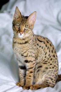 savanah cat