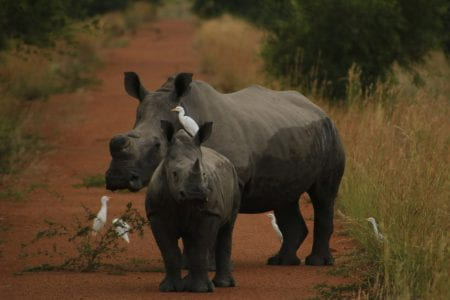 Mother and baby rhino at Mankwe