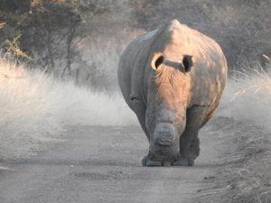 male rhino at Mankwe