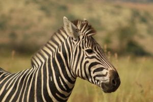 zebra at Mankwe