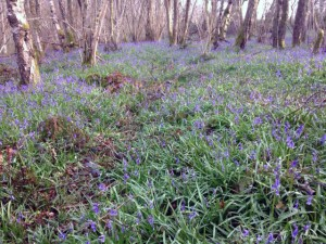 The bluebell carpet is really looking beautiful especially when the sunshine filters through the bare branches.