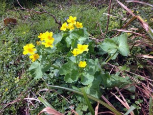 Marsh Marigold or King cups, a small clump of three plants grow very happily on a bank close to a river. Apparently there used to be an abundance of them in this site but climate conditions have taken their toll