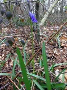 This was the first bluebell I saw today, they are slowly coming to life