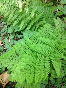 This beautiful Lady Fern Athyrium filix-femina grows very close to another but quite different fern called a male fern - Dryopteris filix-mas