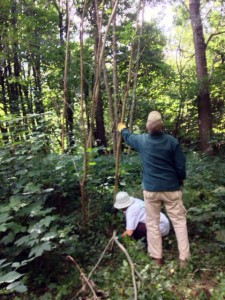 attention is switched from constructing paths to taking down small diseased ash trees