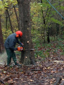 John very carefully starts the first 'beak' cut with the chainsaw