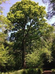 Trafalgar Oak