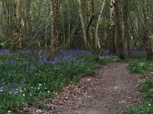 bluebells growing wildly in a woodland