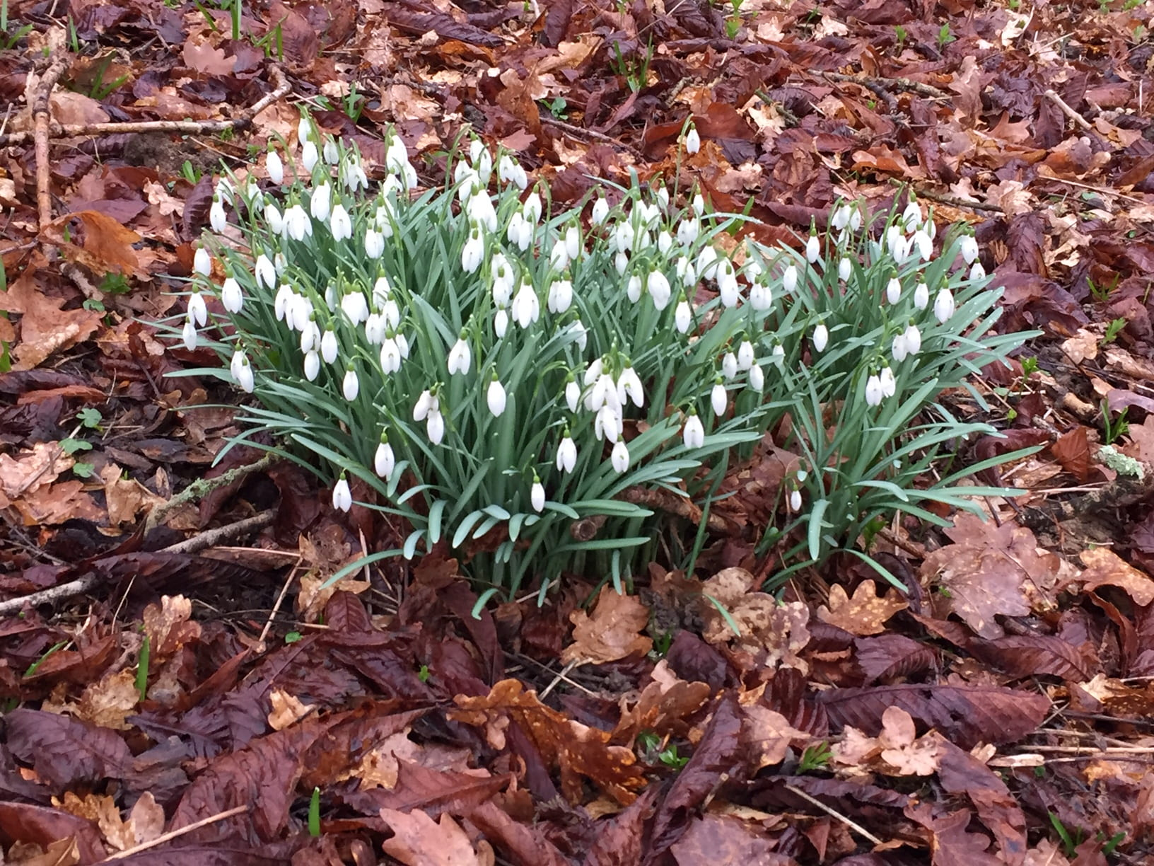 snowdrops in a woodland