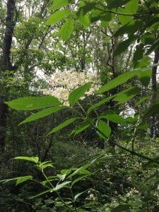 elder flowers - fresh and white
