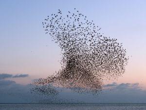 Murmuration of starlings by Christopher Stevens