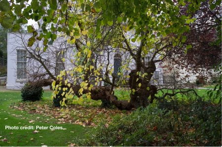 A Mulberry Tree in the London Borough of Hampstead (source: Museum of Walking / Peter Coles www 2019)