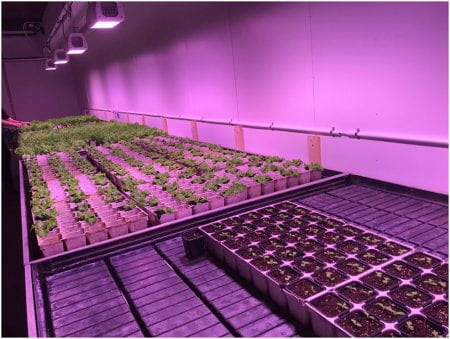 The indoor farm in Högdalen, with lettuce in different stages of development (source and caption: Rebecka Milestad www 2019)