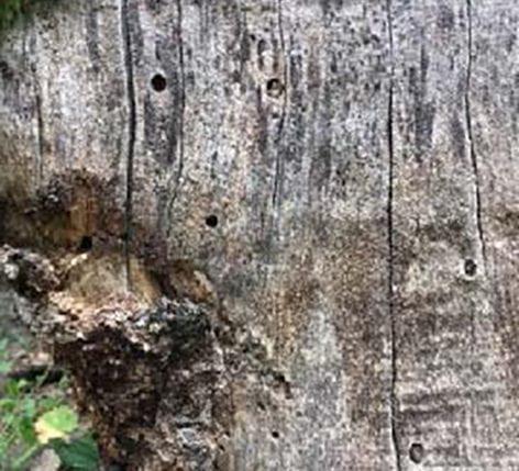 Sealed wild bees nest in a tree stump (source: Monika Egerer, Forschungs-Update für Gemeinschaftsgärten-Projekt März 2021)