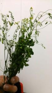 A woad plant