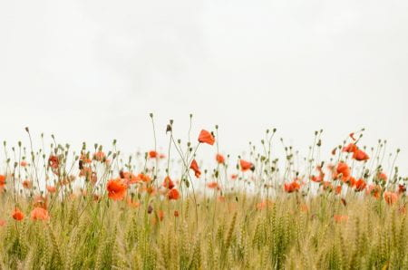 photo of field of poppies