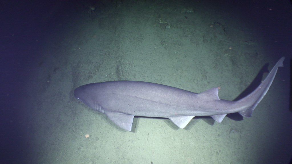 Second ROV dive: Giant shark wants a piece of action too. Photo by: ISIS (screenshot by Maricel)