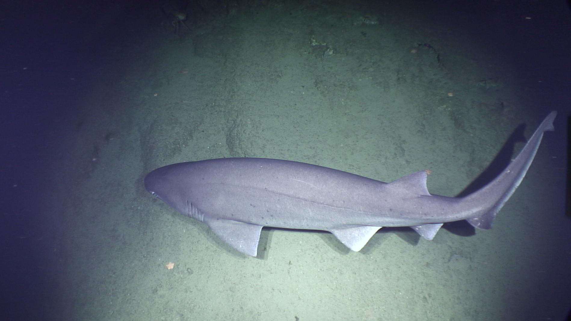 Big ass shark