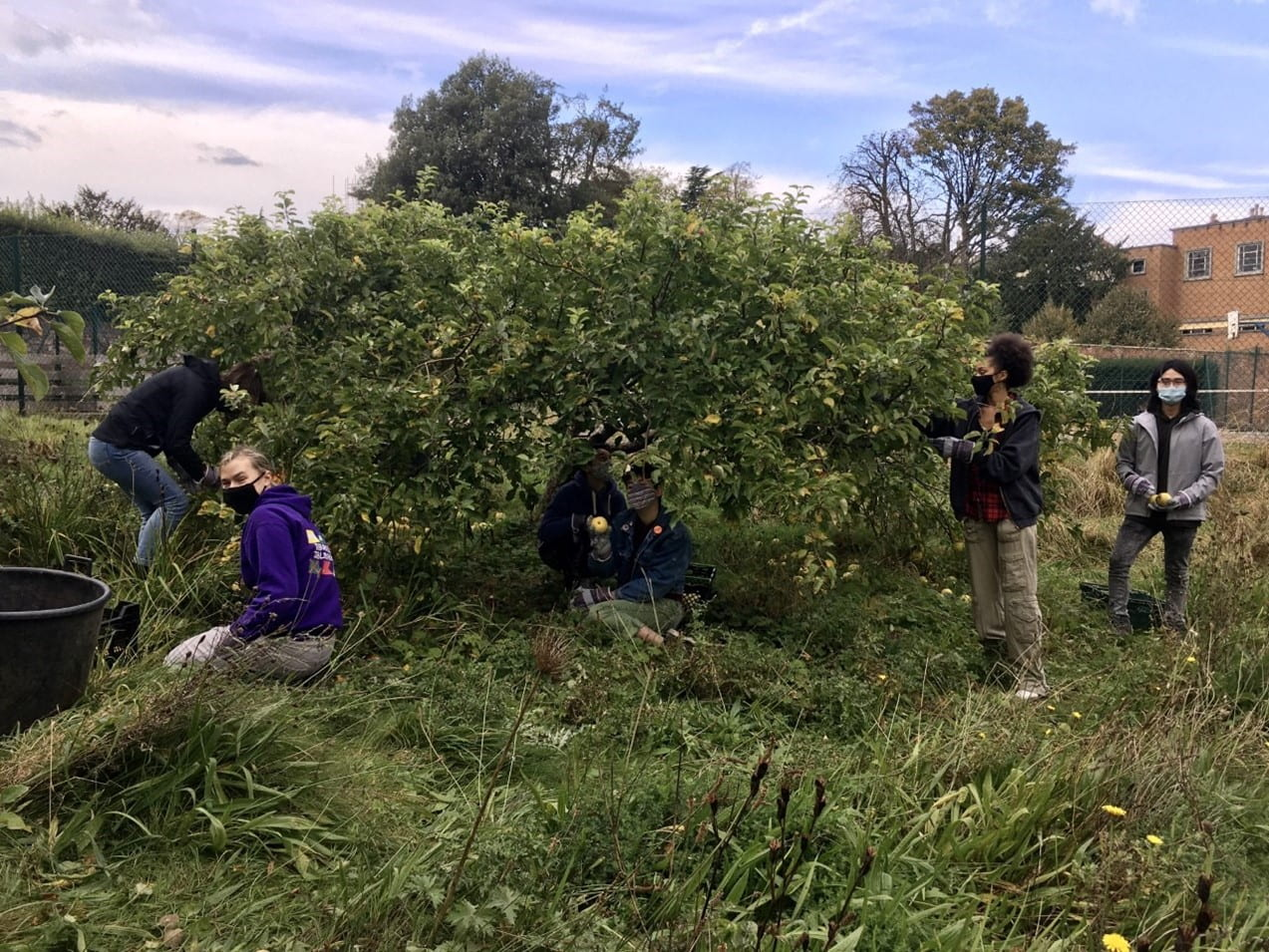 Students harvesting apples in Goldney Hall Heritage Orchard in October 2020.