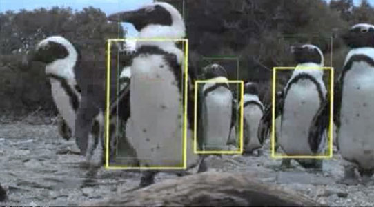 Recognising penguins in video streams