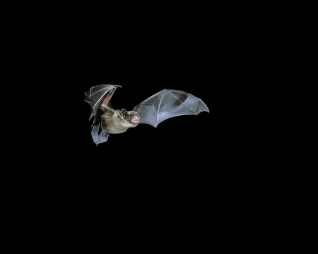 Serotine in flight (© Hugh Clark / Bat Conservation Trust)