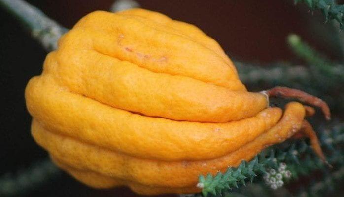 Citrus medica var. sarcodactylis