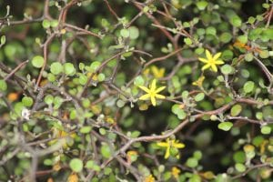 The 'chicken wire' bush <em>Corokia cotoneaster</em> with its fussy branch patterns, small leaves and yellow flowers