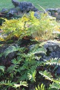 <em>Polypodium cambricum</em>