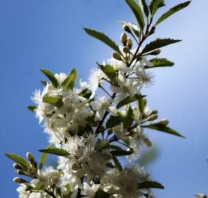 White flowers and buds and delicate leaves of <em>Hoheria angustifolia</em> reaching towards the sun against a bright blue sky