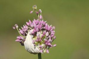 <em>Allium ampeloprasum</em> var. <em>babingtonii</em>