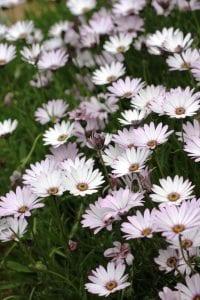 <em>Osteospermum jucundum</em>