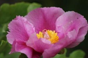 <em>Paeonia mascula</em>
