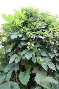 <em>Humulus lupulus</em> - hops