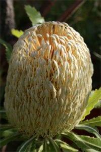 <em>Banksia pilostylis</em>