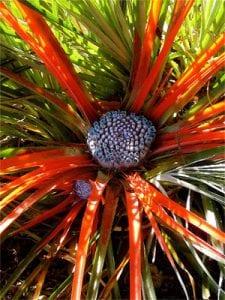 <em>Fascicularia pitcairniifolia</em>