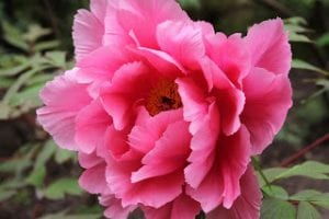 pink peony in bloom