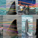 Automated Fin Identification of Individual Great White Sharks