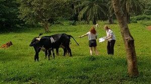 sampling a cow