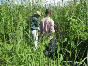 Fig 6: The Ngwerere reed bed