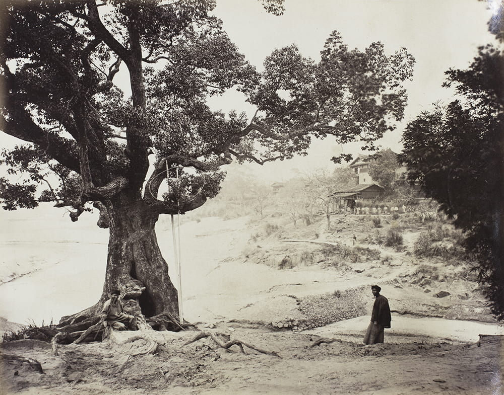 Captioned in the album 'Village up country' (i.e. northern Fujian, a principal tea district). This old tree is thought to be a tea tree. Beside it, there appears to be a hooped tool on poles, perhaps netted, for harvesting the leaves? The photograph may be by John Thomson, c1870? HPC ref: Fr01-093.