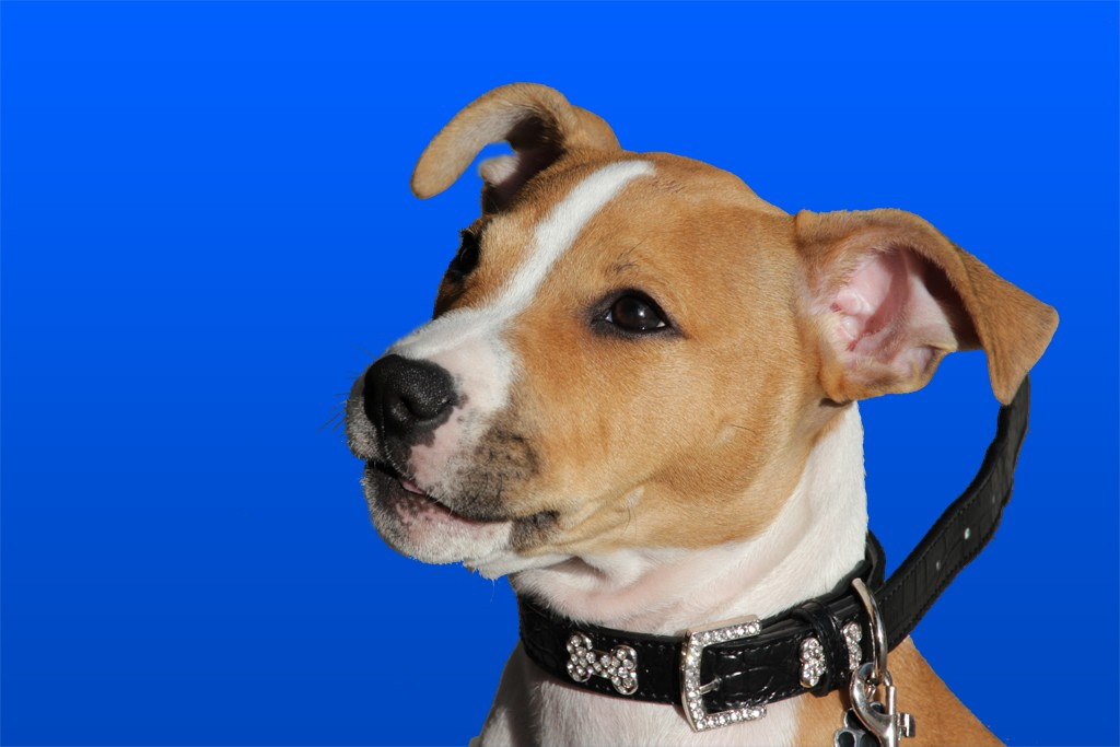 a dog against bluescreen