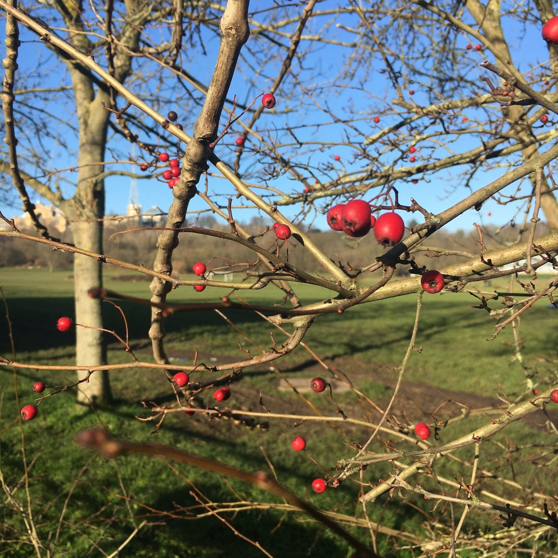a winter scene of red berries on bare branches