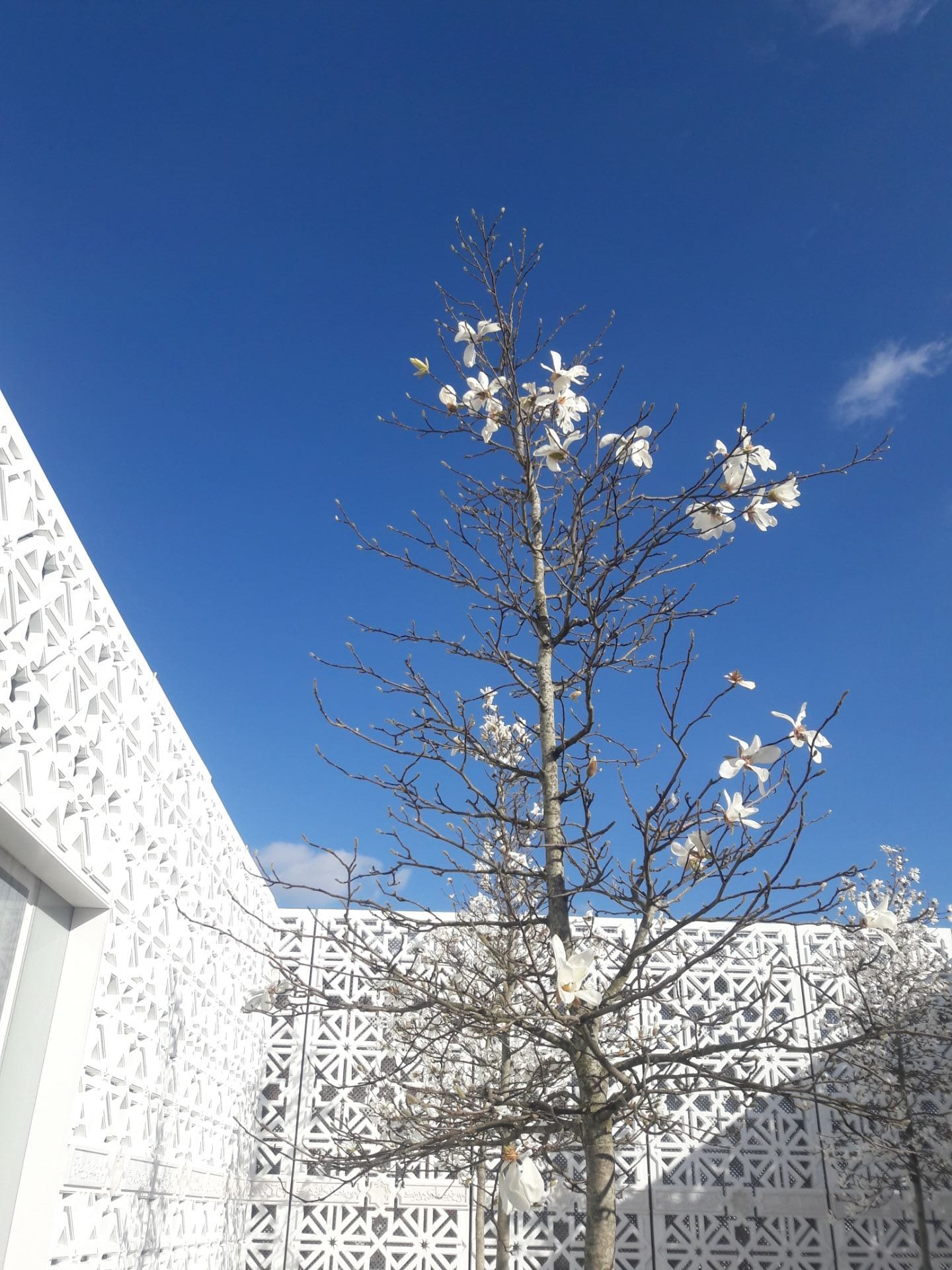 The Garden of Light small tree with white blooms against a blue sky with white decorative trellis in the background.