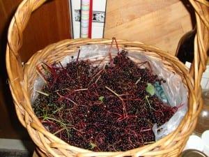 Elderberries, Elderberry