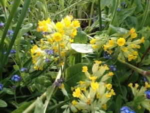 cowslips on the allotment April 2014