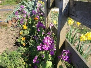 Callendula and Honesty on the allotment April 2014