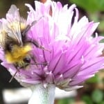 Bee on chive flowers