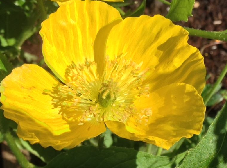 june 8 yellow poppy