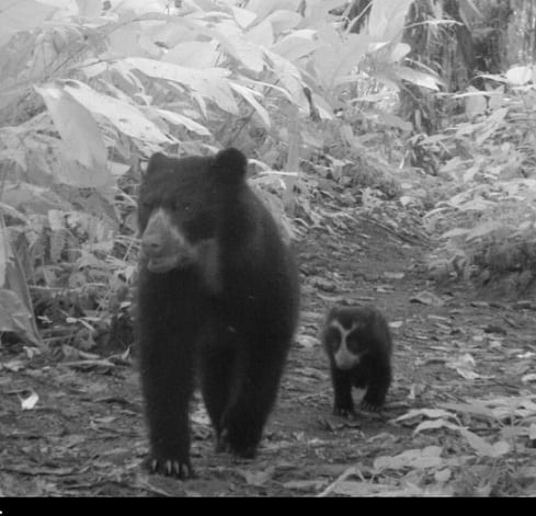 Very exciting discovery - Andean bear and cub caught on the camera trap!