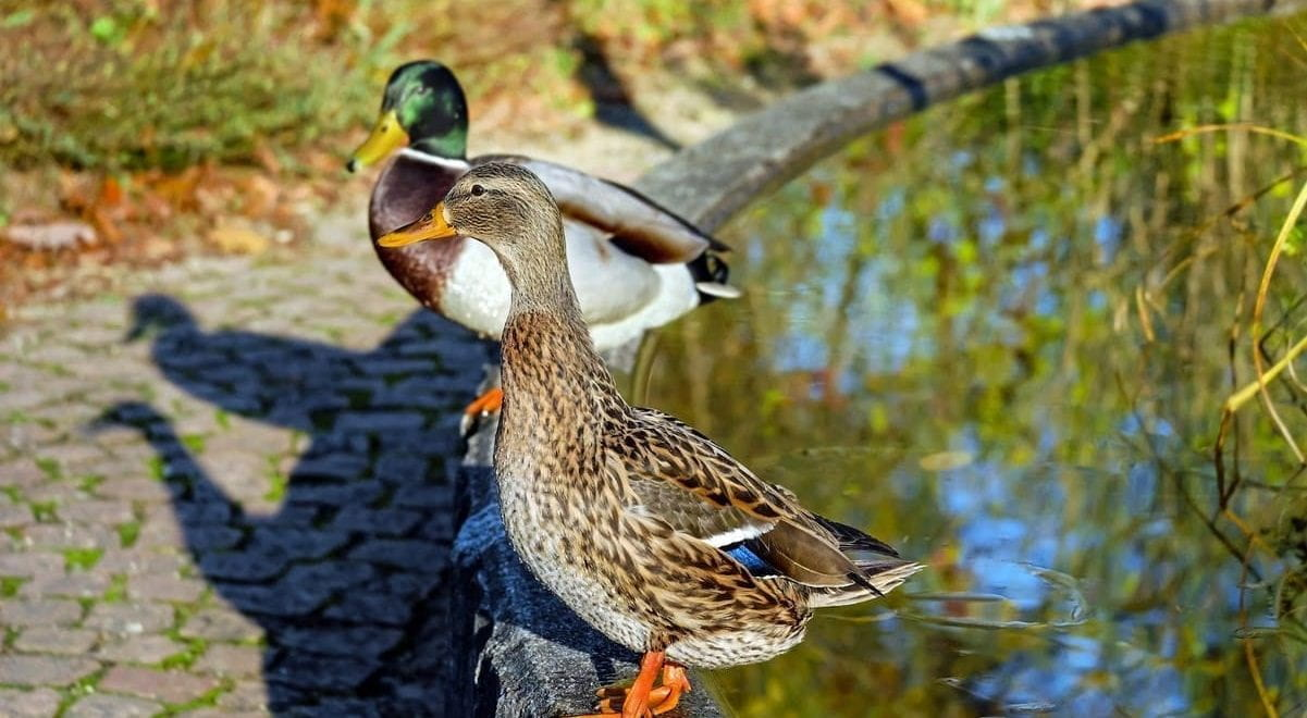 Two ducks sat on the edge of a pond.